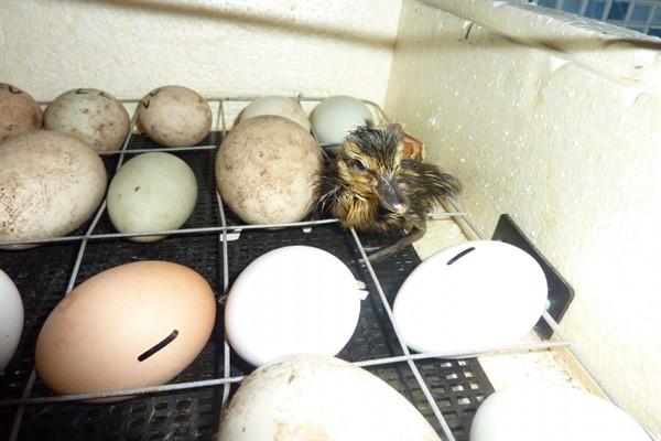Жизнеспособное инкубационное яйцо мускусной утки основные признаки