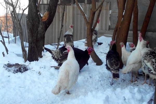 Содержание индюков в зимний период