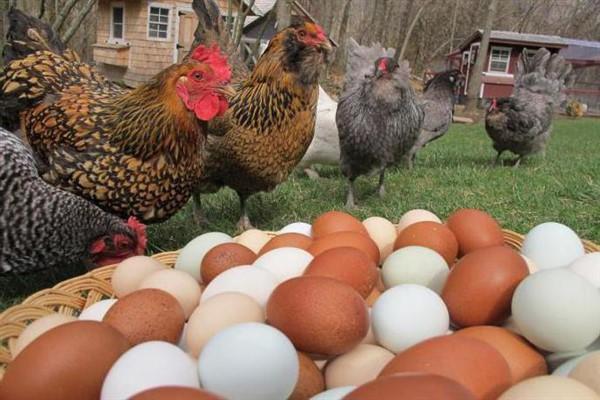 Цвет яиц у курей