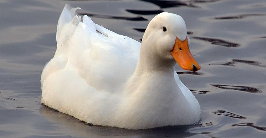 Белая утка