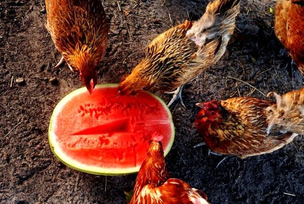 Как повысить яйценоскость кур