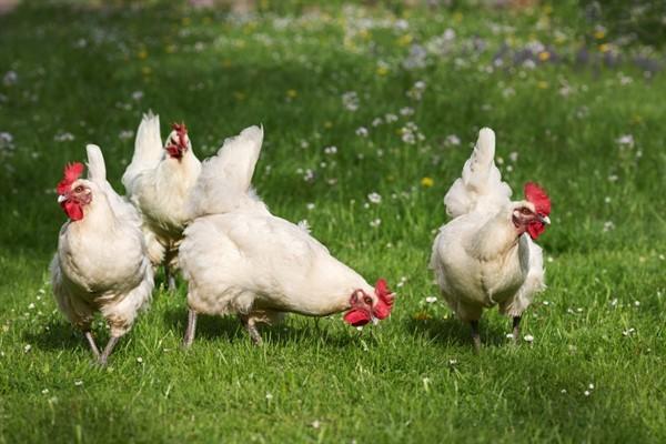 Хайсы порода кур