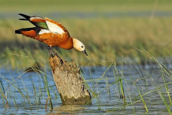 Рацион питания утки огарь