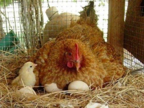 Подготовка к выведению яиц
