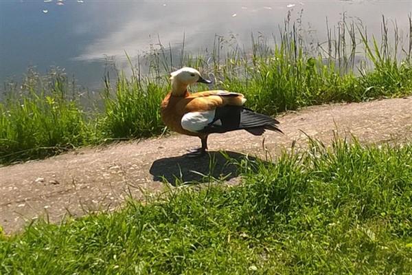 Где обитает утка огарь