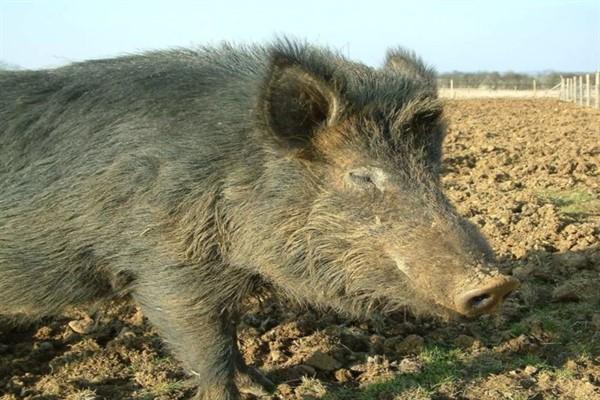 Кармалы порода свиней фото