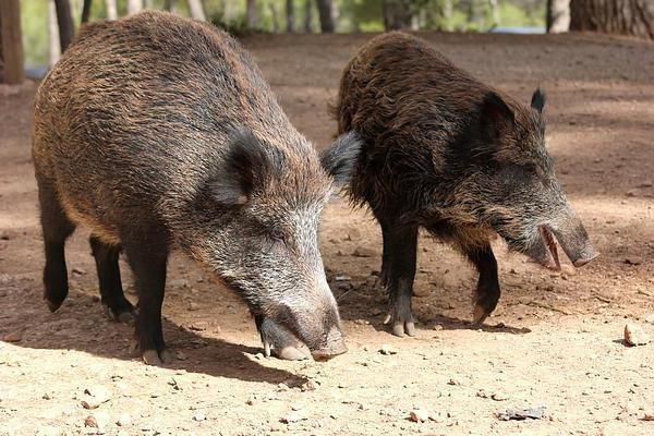 Мангалица порода свиней