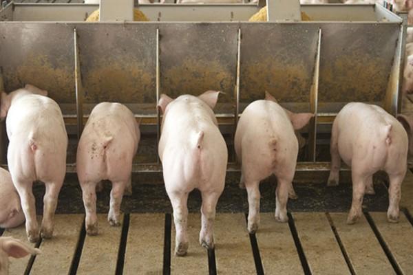 Питание свиней ландрас