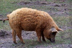 Порода свиней мангал фото