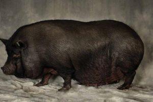 Сколько ходит свинья беременная фото