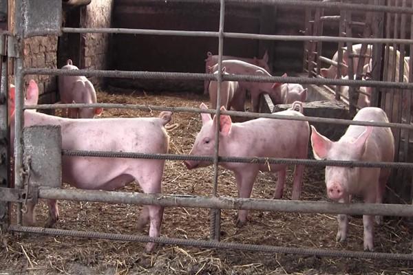 Содержание свиней ландрас