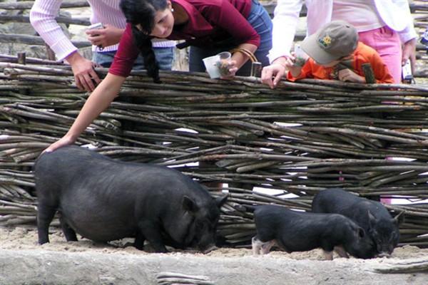 Сколько живут свиньи в зоопарке