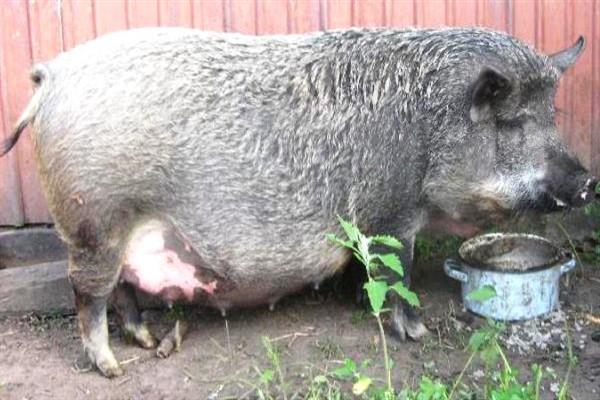 Сколько ходит свинья беременная венгерская мангалица фото