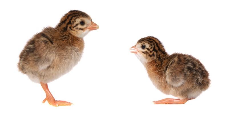 Выращивание и уход за цыплятами цесарки фото