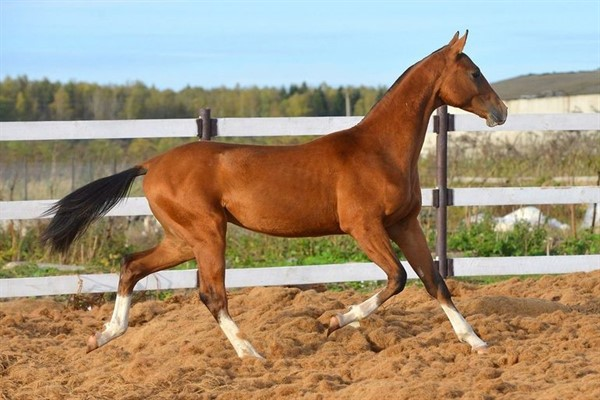 Ахалтекинская лошадь описание