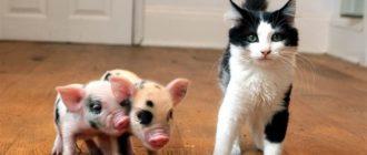 Декоративная свинья фото