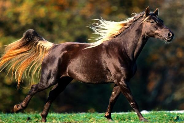 Характеристики лошадей скалистых гор фото