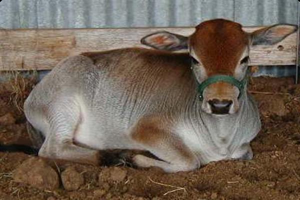 Карликовый зебу фото и описание