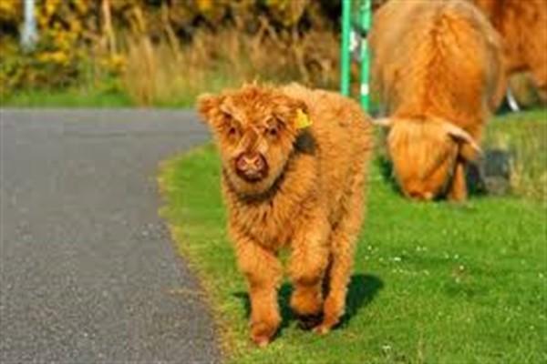 Коровы хайленд фото и описание