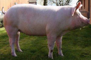 Крупная белая порода свиней фото