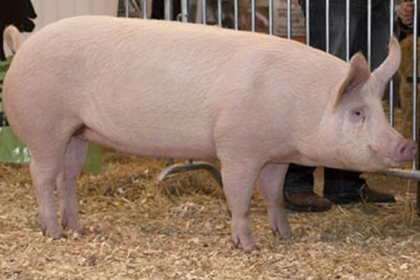 Порода свиньи крупная белая фото