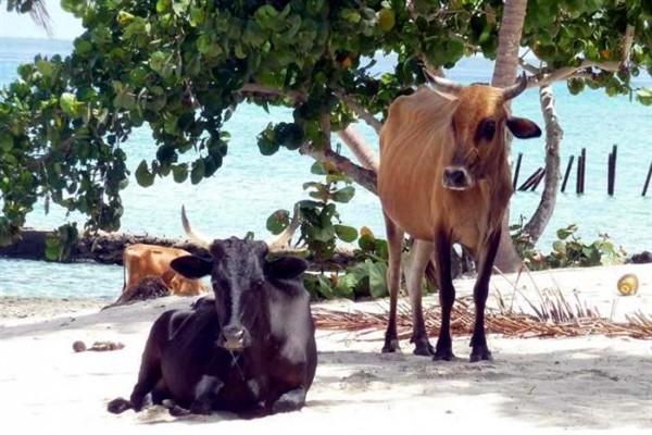 Кубинские карликовые коровы фото и описание