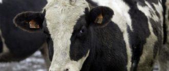 Лейкоз у коров описание