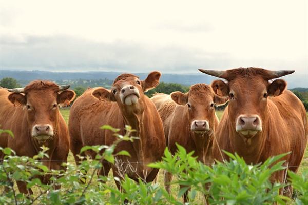 Лимузинская порода коров описание