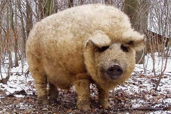 Мангалица - порода свиней фото