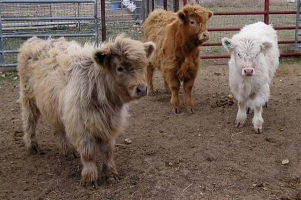 Мини коровы фото и описание