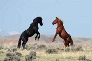 Мустанг лошадь фото и описание