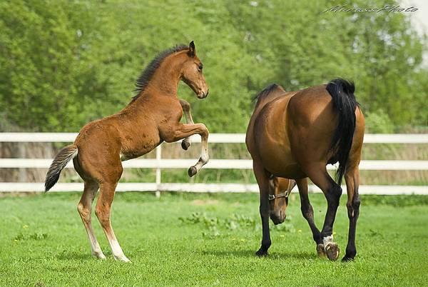 Особенности случки лошадей