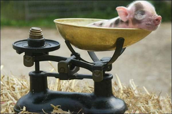 Сколько весит свинья фото