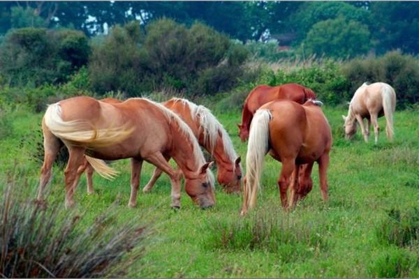 Случка лошадей на воле