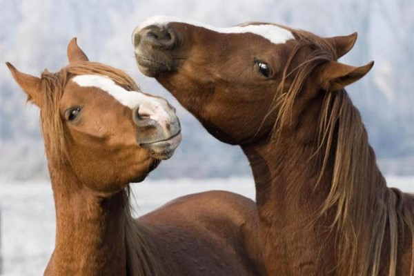 Спаривание лошадей описание