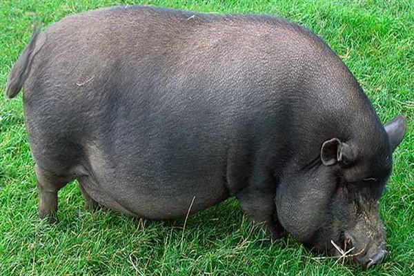 Вислобрюхая свинья фото