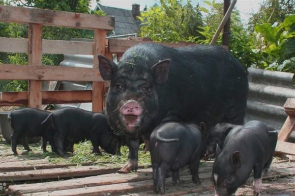Вислобрюхие вьетнамские свиньи выращивание