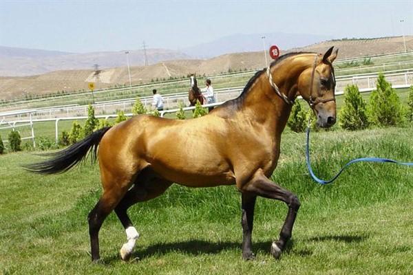 Выращивание Ахалтекинской лошади описание