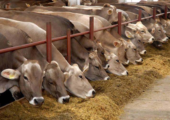 Содержание и питание швицкой коровы