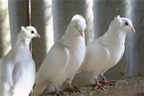 Бойные голуби фото