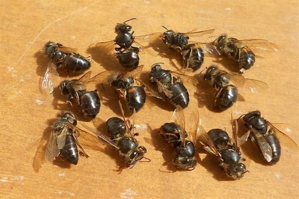 Сколько живет больная пчела