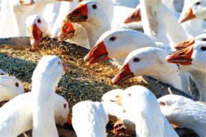 Чем кормить гусей описание