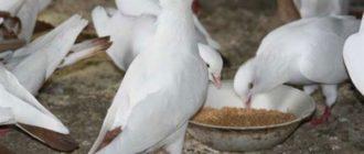 Домашние породы голубей что едят