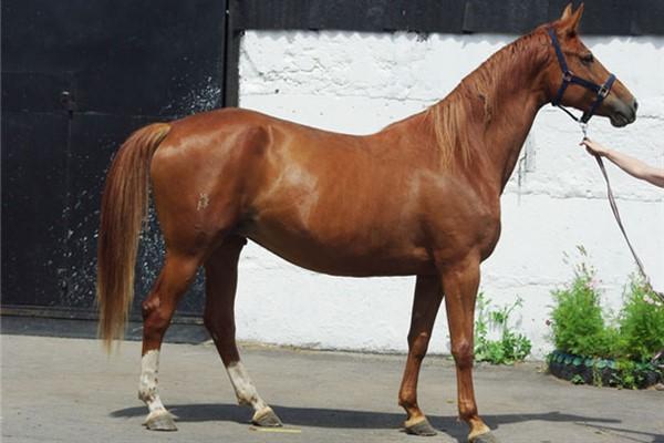 Экстерьер Тракененской лошади описание и фото