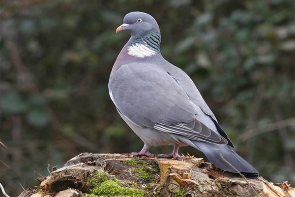 Что едят дикие голуби