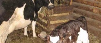 Хлев для коров