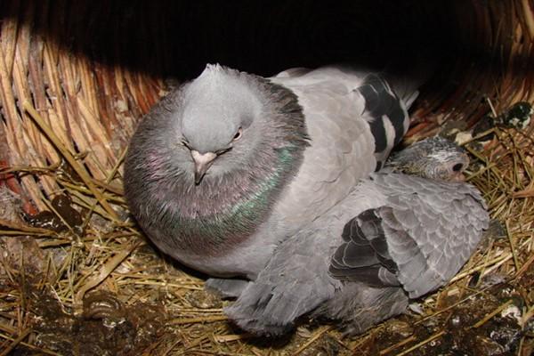Как определить возраст голубенка