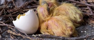 Как размножаются и взрослеют голуби