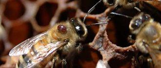 Обработка пчел от клеща осенью