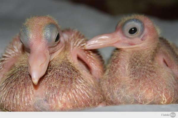 Особенности птенцов голубей